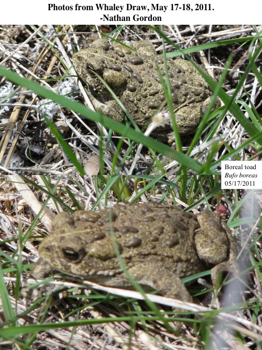 Western toads in Whaley Draw